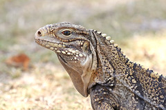 Cuban Ground Iguana ♀ Cyclura nubila (Roger Wasley) Tags: cuban ground iguana cyclura nubila puerto rico west indies caribbean reptile island greater antilles tropical neotropical