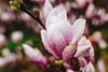 Rainy Blossom (Viv Lynch) Tags: canada ontario toronto scarborough spring 2017 weather bluffs cliffcrest plants blooms flowers botany blossom springtime aprilshowers mayflowers