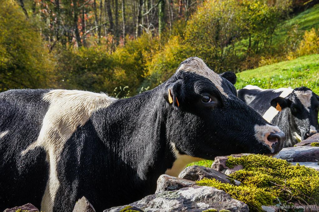 Vacas mojadas