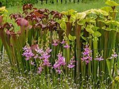 Orchids in the front yard Bog Garden [Explore 2017-05-04] (jimf_29605) Tags: calopogontuberosus commongrasspinkorchid sarracenia pitcherplants linderniamonticola piedmontfalsepimpernel boggarden greenville southcarolina olympus e5 zuiko 50200mm carnivorousplants
