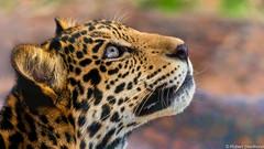 Discovery (Robert Streithorst) Tags: zoosofnorthamerica cat robertstreithorst sanantionozoo jaguar flickrbigcats