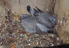 BOX 5 (Bathgate Wildlife) Tags: nest box recording scheme bird progress rail south queensferry stock dove