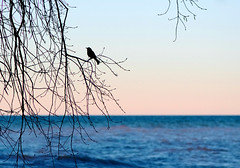 Grackle at the Lake (imageClear) Tags: grackle commongrackle lake lakemichigan sky silhouette lakeshore sheboygan wisconsin aperture 105mm nikon d500 bird color evening branches nature wildlife imageclear flickr photostream