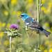 Lazuli Bunting (X75_6817-1) (Eric SF) Tags: lazulibunting bunting drycreekpioneerregionalpark unioncity california