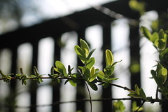 Across the fence ... (MomOfJasAndTam) Tags: hff friday happy happyfencefriday green greenery plant leaves bud budding leaf light lighting backlight spring branch across fence