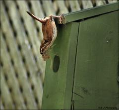 Padding the Nest (John Neziol) Tags: kjphotography carolinawren wren nikon nikoncamera nikondslr bird brantford feathers beak outdoor ontario birds birdhouse