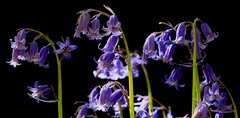 Gems of the Forest (acwills2014) Tags: forest woods gems sapphires bluebells blue sunlit light mood magical blueonblack seductive moody purple naturesjewels englishbluebells