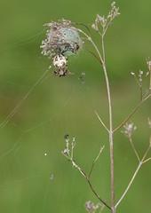 Schilfradspinne (Larinioides cornutus) , NGIDn1571878437 (naturgucker.de) Tags: ngidn1571878437 naturguckerde larinioidescornutus nierstein golfplatz cursulagoenner