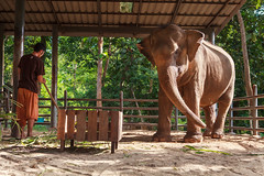 Elephant waiting on his patron (mahout) to clean the place.