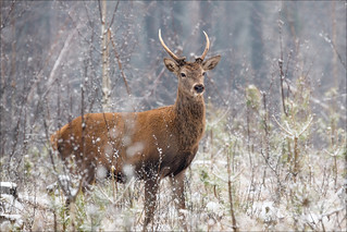 Lonely young deer standing in a belorussian forest under first snow falling.