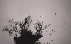 Parrot Nests (Jeison Spaniol) Tags: bird parrot nest tree nature flight sky bw black white phone tapes brazil