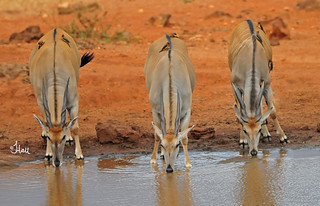 Trio of Eland (with Oxpeckers) at waterhole - 6116b+