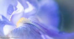 Inner beauty (frederic.gombert) Tags: iris flower light sun sunlight color macro inside flowers spring sunny blue white yellow nikon 105mm