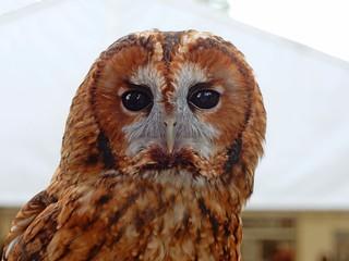 Tawny Owl, Hyde Hall, Essex