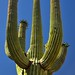 The Many Arms of a Saguaro Cactus Caught in the Golden Glow of Morning Sunlight