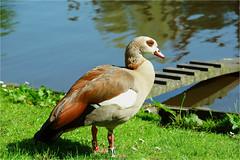 Nijlgans (atsjebosma) Tags: vogel gans geese spring sunny lente voorjaar reflections atsjeboma noorderplantsoen groningen thenetherlands mei may 2017 ngc