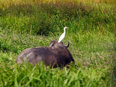 Cattle Egret on Water Buffalo, Nariva Swamp afternoon, Trinidad (annkelliott) Tags: trinidad island westindies caribbean narivaswamp eastcoastoftrinidad nature ornithology avian bird birds egret cattleegret bubulcusibis ardeidaefamily white standingoncow field outdoor 18march2017 fz200 fz2004 annkelliott anneelliott ©anneelliott2017 ©allrightsreserved