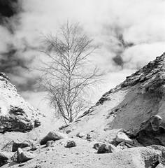 Birch (Tony Bokeh Larsson) Tags: rolleiflex35e carlzeissplanar75 birch fujiacross100 hc110 tree clouds nature sun outdoor vintage film monochrome orangefilter shadows sweden
