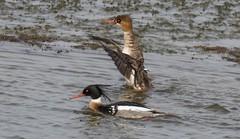 7K8A6014 (rpealit) Tags: scenery wildlife nature edwin b forsythe national refuge redbreasted merganser duck bird