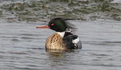 7K8A6029 (rpealit) Tags: scenery wildlife nature edwin b forsythe national refuge redbreasted merganser duck bird