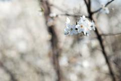 Blossom (Mister Rad) Tags: nikond600 nikon50mmf14g london canadawater blossom flower spring bokeh