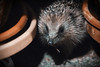 Hedgehog (scootiepye) Tags: hedgehog mybackyard northeast erinaceinae