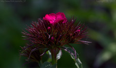 Weekend bloom (Ollie_57.. on/off) Tags: flower plant bokeh leaves petals flora nature sweetwilliam dianthus dianthusbarbatusred macro bloom tamronsp90mm canon 7d may 2017 spring plantworld newtonabbot westcountry devon england uk affinityphoto ollie57 ngc npc