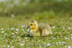 """Canada Goose gosling! Sitting on grass taken at Nene Country Park. (I'll catch up with you later, your comments and cr) Tags: rertug nenecountrypark canadagoosegosling nikkor200500mmf56eafsed nikond610fx wildlifephotography birdphotography """"nikonflickraward"""""""