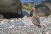 Canquén Colorado (ik_kil) Tags: canquéncolorado ruddyheadedgoose patagonia chloephagarubidiceps riosanjuan especieenpeligro estrechodemagallanes regióndemagallanes goose avesdechile birds chile