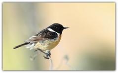 Tarier pâtre (guiguid45) Tags: nature sauvage oiseaux bird passereaux vignes loiret d810 500mmf4 nikon tarierpâtre saxicolatorquatus stonechat affût