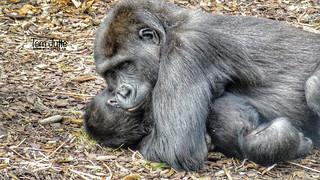Gorillas playing, Burgers' Zoo, Arnhem, Netherlands - 3370