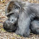 Gorillas playing, Burgers' Zoo, Arnhem, Netherlands - 3370 thumbnail