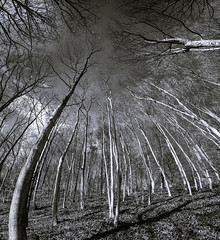 Arboreal (Mister Electron) Tags: eastyorkshire millingtonwood nikond800 trees yorkshire outdoors woods blackandwhite blackwhite bw monochrome arboreal abstract stitched ultrawideangle wideangle