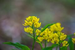 DSC_2653 (Darjeeling_Days) Tags: macro nature 南大沢 金蘭 銀蘭 華 花 絶滅危惧種 雑木林 flower チューリップ