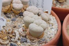 _DSC0035.ppm (nitedojo) Tags: nitedojo haage openday lithops livingstone