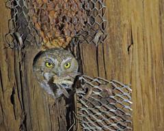 Elf Owl (Keith Carlson) Tags: elfowl nests micrathenewhitneyi