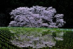 Harmony (Giovanni88Ant) Tags: nara sakura harmony spring yamazakura