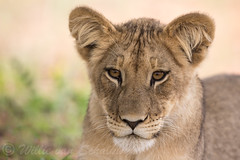 Pretty face (Willievs) Tags: pantheraleo cub wildlife kgalagadi lion leeu welpie specanimal