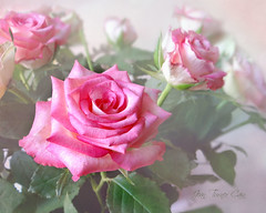Thank you Bouquet (Jean Turner Cain) Tags: rose rosa bloem blomst blomma flowerflorafloral jean turner cain texture textured textures