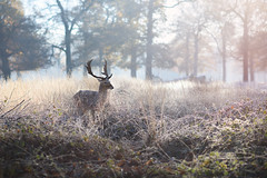 Soft Apparition (Ida H) Tags: deer wildlife animal trees morning morninglight sunrise nature outdoors light beautifullight contrejour pastel pale soft beauty mystery england nikon nikond810