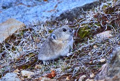 Pika - Sensitive to Climate Change (Reed Summers) Tags: colorado pika rock rabbit climate change