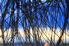 Macro Mondays -  Into the Woods (sylviamay1963) Tags: macromondaysintothewoods casuarina lakemacquarie australia silhouette leaves blue yellow black water sonya58 casuarinatrees lakeside