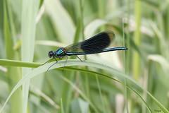 Libellule ? non, Demoiselle ! (vepephotos) Tags: macro libellule demoiselle nature insecte feuille vert proxi canon eos7dmark2 60mm civaux orveau vienne poitou france dragonfly