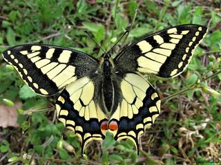 Butterfly 1251