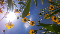 look upward! (Maluka.X) Tags: upward flower leaf blue sky sun ray light shadow art contrast view position unique wild nature landscape shanghai china yellow orange sunlight