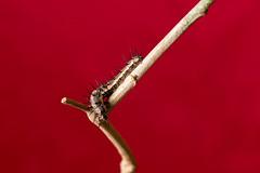 _MG_0090 (irukza) Tags: gusano insecto naturaleza oruga