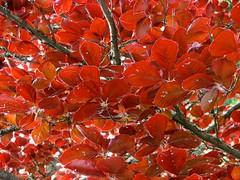 red spring (Szymek S.) Tags: leaves foliage branches tree beech fagus campus university ubc universityofbritishcolumbia pointgrey vancouver britishcolumbia canada
