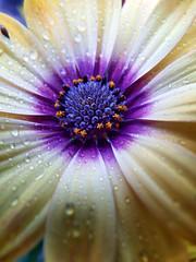 Daisy (STEHOUWER AND RECIO) Tags: daisy spanish spanishdaisy flower flora floral nature garden macro white blue yellow purple bloem bulaklak photo photography capture image