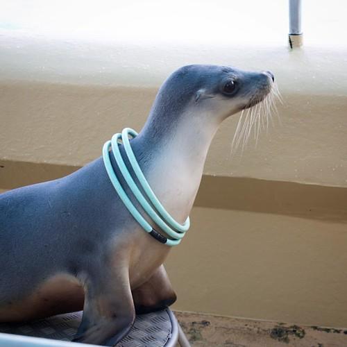 Australian Sea Lion #sealion