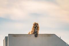 Chewbacca Dog (Jim Makos) Tags: dog hairy outdoor starwars chewbacca skyros animal molos thessaliastereaellada greece gr